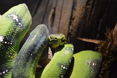 Coiled snake. Green coiled snake Royalty Free Stock Photography