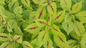 Green coleus Royalty Free Stock Photos