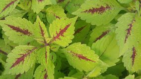 Green coleus Royalty Free Stock Photos