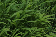 Green color grass in the garden Stock Photography