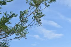 GREEN COLOR LEAVES WITH STEM AND THE BLUE SKY royalty free stock image