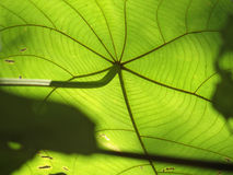 Green ... The color of life. Taken from underneath the green leaf with the light shining through Royalty Free Stock Images