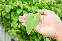 Green color love shape leaf Stock Photos