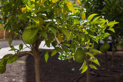 Green Color`s Orange Fruits Growing on Tree Royalty Free Stock Photography
