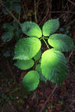 With green color sprayed blackberry leaves Royalty Free Stock Photography