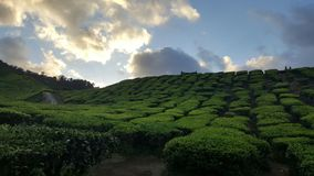 Green. The color of the tea plantation and comfortable look Stock Photo