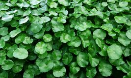 Water Pennywort. Green color of Water Pennywort Royalty Free Stock Images