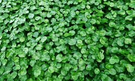 Water Pennywort. Green color of Water Pennywort Royalty Free Stock Photo