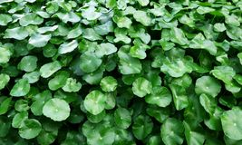 Water Pennywort. Green color of Water Pennywort Stock Photography