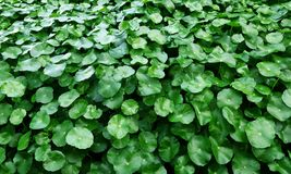 Water Pennywort. Green color of Water Pennywort Stock Photo