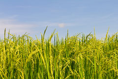 Green color with yellow rice Royalty Free Stock Photography