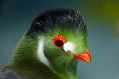 Green colored head of a white-cheeked turaco with an orange colored beak and eye ring. Green colored head of a white-cheeked turaco tauraco leucotis with an Royalty Free Stock Image