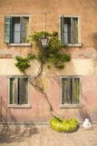 Green colored ivy trees squiggles on the wall of an old house Stock Photos