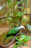 Green colored Ptilinopus magnificus wompoo fruit dove, also known as wompoo pigeon Royalty Free Stock Photos