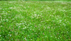Green and colorful flowery meadow with pink clover and white Si