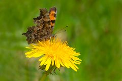 Green Comma Butterfly. Collecting nectar from a Dandelion flower. Also known as a Faunus Anglewing Butterfly. Grosn Morne National Park, Newfoundland, Canada Stock Photography