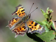 Green Comma Butterfly on a Leaf Royalty Free Stock Photo