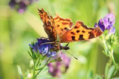 A Green Comma butterfly sips nectar from a flower.  Royalty Free Stock Photography