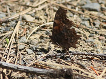 Green Comma Butterfly Underside Stock Photo