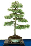 Green common juniper as bonsai tree Royalty Free Stock Photo
