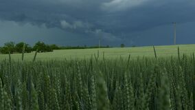 Green common wheat Triticum aestivum field on dark cloudy sky in summer before the storm. Wind blowing. Close up of unripe bread wheat ears, rural landscape stock footage