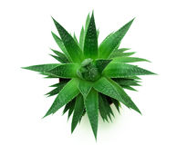 Green compass. Green thorny plant. The top view Stock Images
