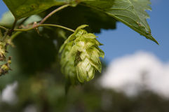 Green cone of hop Stock Photography