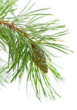 Green cone on a pine branch. On a white background Stock Photography