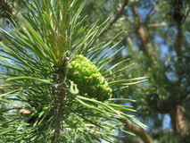 Green cone of pine closeup Stock Image
