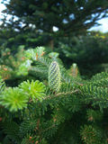 Green cone of pine Royalty Free Stock Images