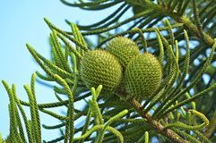 Green Cones. Closeup. Southern California, USA. Conifers Photography Collection Stock Image