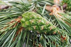 Green cones Royalty Free Stock Photo