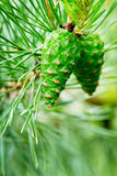 Green cones of the European black pine. Stock Images