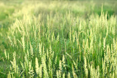 Green cones and grass on a summer meadow. Royalty Free Stock Photos