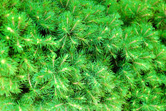 Green cones and needles on the pine-tree Royalty Free Stock Image