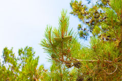 Green cones on a pine tree Royalty Free Stock Photos