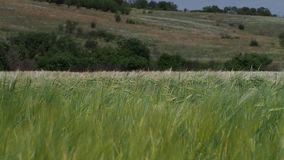 Green cones of wheat. Thin plants on wind. Behind indistinct green background stock video