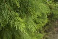 Green conifer background. Greenery background. Stock Image