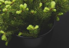 Green conifer branches on a dark background christmas background stock images