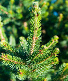 Green conifer closeup Royalty Free Stock Photography