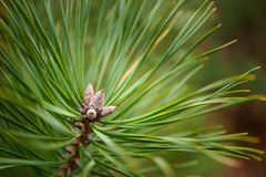 Green Conifer tree in the forest Royalty Free Stock Photos