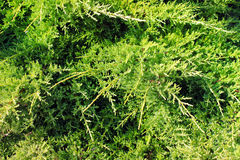 Green conifer needles background Royalty Free Stock Image