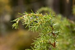 Green coniferous branch with drops of water close-up. stock photography