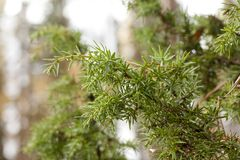 Green coniferous branch with drops of water close-up. royalty free stock image