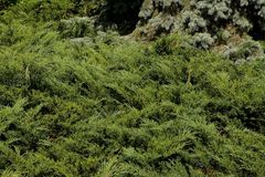 Texture of small green coniferous branches ate in the park Royalty Free Stock Image