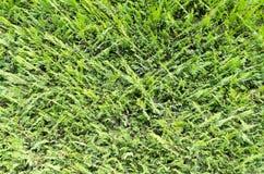 Green coniferous bush background Stock Photo