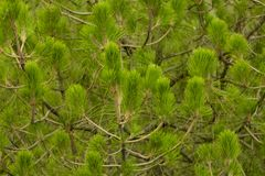 Green coniferous cedar tree branches royalty free stock image