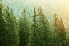 Green coniferous forest lit by sunlight. Healthy, big green coniferous trees in a forest of old spruce, fir and pine trees in wilderness area of a national park Royalty Free Stock Photography