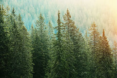 Green coniferous forest lit by sunlight Stock Images