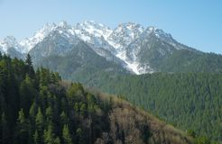 Green coniferous forest on a mountainside against a background of snow-capped mountain peaks. Background splash stock image